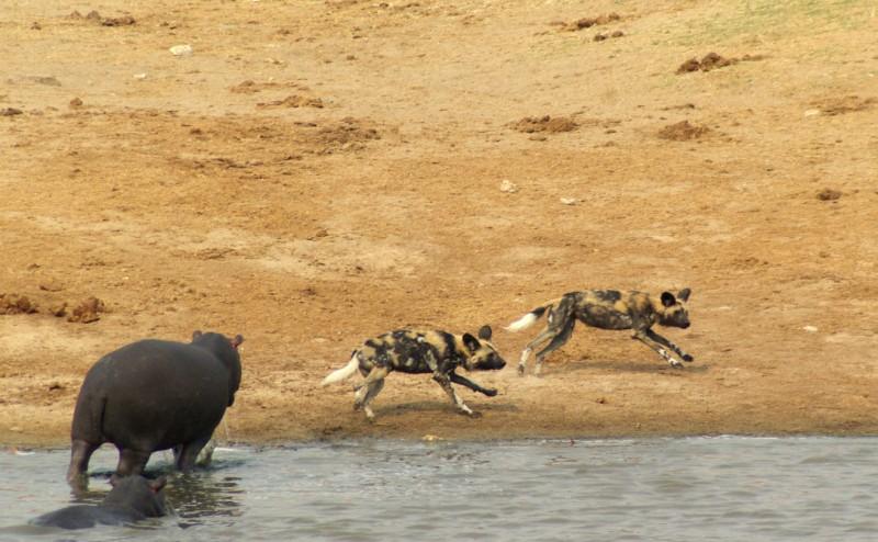 bourg la reine hippopotamus